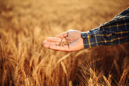 Farmer holds grains in his hand checking the quality of wheat grains in the middle of the golden ripe spikelets at the field. Worker assesses the ripe stage of wheat. Agricultural harvest concept