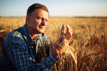 Farmer got down on one knee checking the quality of wheat grains in the middle of the golden ripe spikelets at the field. Worker assesses the ripe stage of wheat. Agricultural and harvest concept