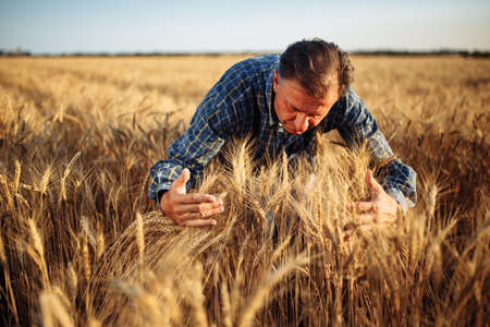 Farmer standing in the middle of a wheat field wrapping the golden spikelets with his hands. Agricultural worker assesses the quality of the new crop of grains before harvest