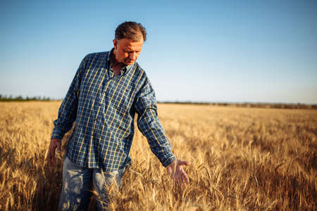 Farmer walks among the golden ears of wheat before harvest checking the ripe condition of the new season crop. Worker touches the spikelets to assess grain ripe stage. Agricultural concept