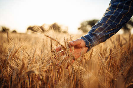 Closeup of the farmer's hands touching the ears of wheat to check the quality of the new harvest. Worker assesses the grains stage of ripe at the field. Agricultural and new crop concept