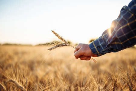 Closeup of a farmer's hand with a few spikelets at the golden wheat field. Three ears of wheat in worker's palm meaning the good crop season and fruitful harvest. Agricultural and trading season