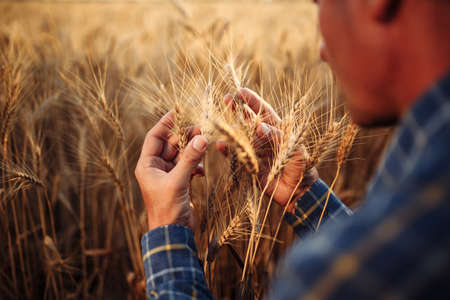 Closeup of the farmer checking the quality of the new crop at the wheat field. Agricultural worker holds the golden spikelets in his hands assessing their ripe stage. Harvesting concept