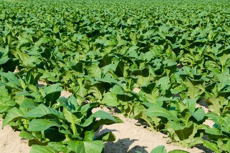 Tobacco Field Standard-Bild