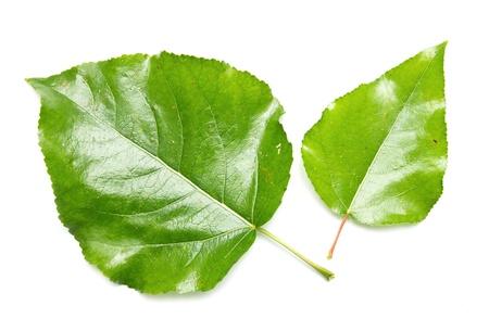 green leaf on white poplar