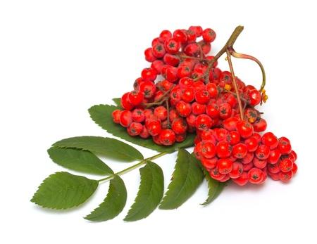 Rowan branch on a white background Stock Photo