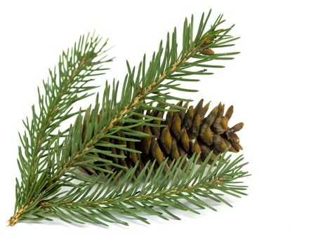 Spruce branch with cones photo