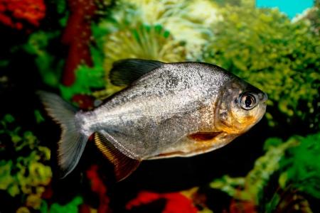 fish in the aquarium Stock Photo - 17770998