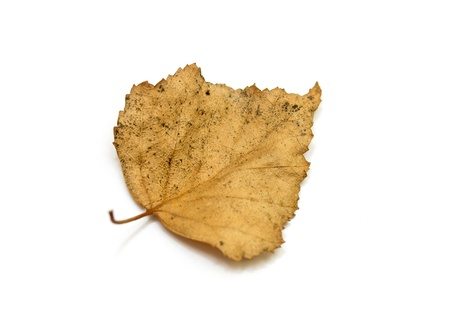withering: Dry birch leaves on a white background Stock Photo