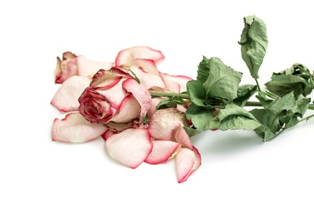 Close up of withered rose and petal over white background Foto de archivo