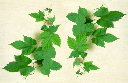 green grape leaves on a white background Stock Photo - 18332856