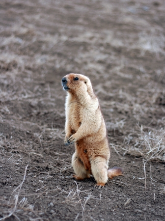 woodchuck by springtime on field. Kazakhstan