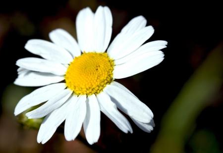 daisyflower: chamomile flower