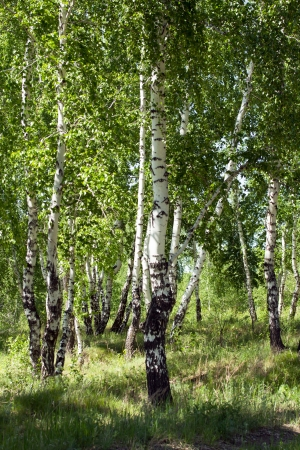 greenwood: birch wood