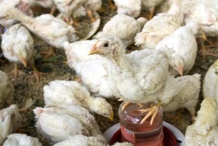 hen chicks in aviary Stock Photo - 18434289