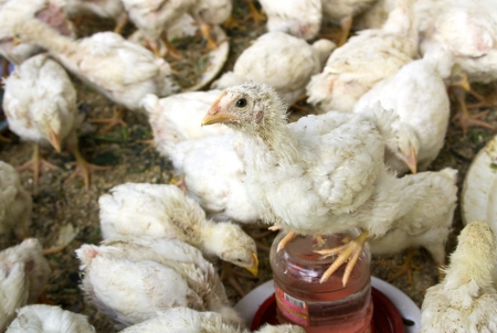 fertility emblem: hen chicks in aviary Stock Photo