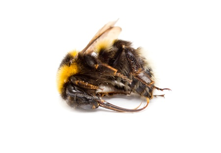 abdomen yellow jacket: dead bee