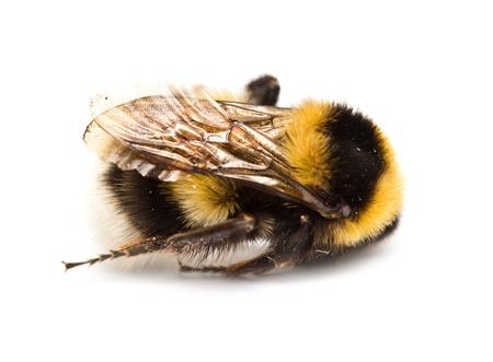 dead bee