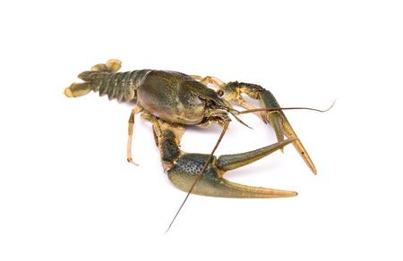 Crayfish geïsoleerd op witte achtergrond Stockfoto