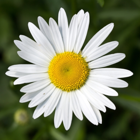 white daisy: flowers of the field Stock Photo