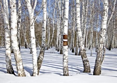 冬の白樺の木材 写真素材