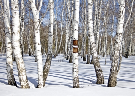 Winter Birkenholz Standard-Bild - 18460901