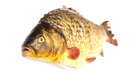 carp fish Stock Photo - 18461007