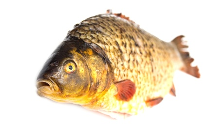 carp fish Stock Photo - 18461007