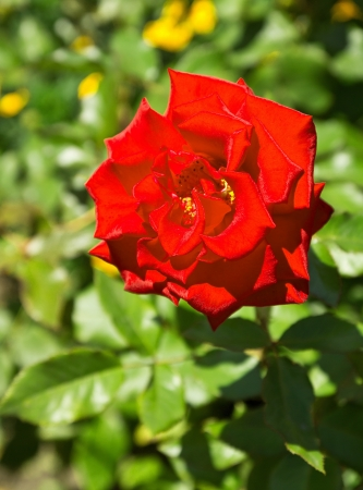 flower,,, Rose photo