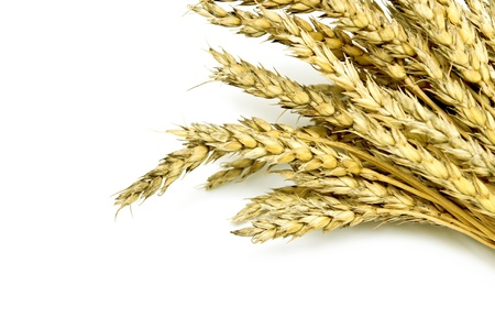 ears of wheat on a white background photo