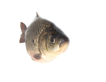 carp fish Stock Photo - 18462736