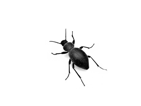 scarab beetle black on a white background photo