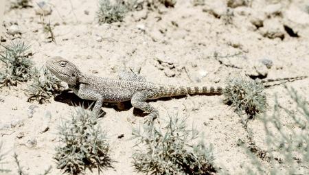 desert lizard: desert lizard