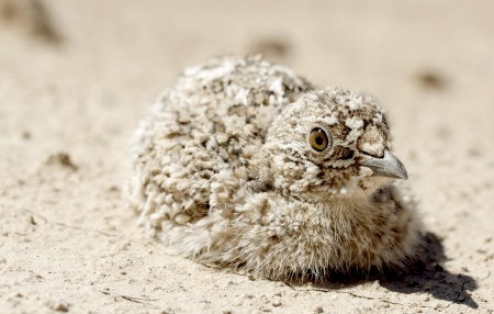 kuropatwa: partridge on on background of the deserts