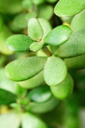 Potted home plant Crassula