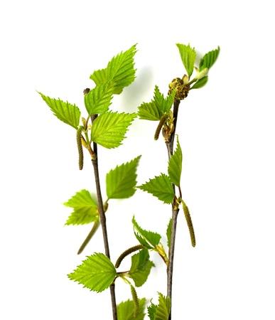 brich: beautiful spring sprigs of brich  on white background