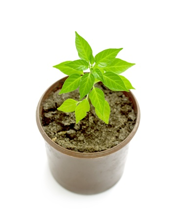 Green pepper sprout in the pot isolated on white background photo