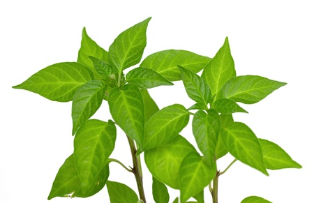 leaves of green pepper isolated on white background photo