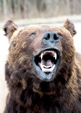 le museau de l'ours près