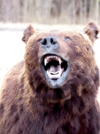 angry bear: bears snout close up Stock Photo