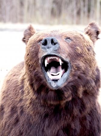 bear's snout close up