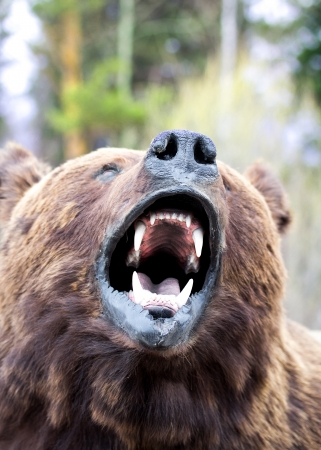 bears snout close up Stock Photo