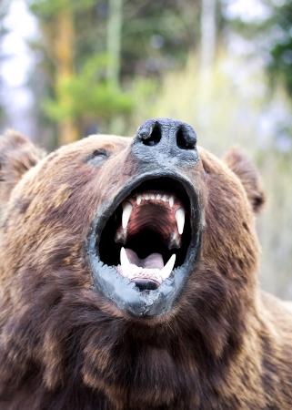 grizzly: le museau de l'ours près Banque d'images