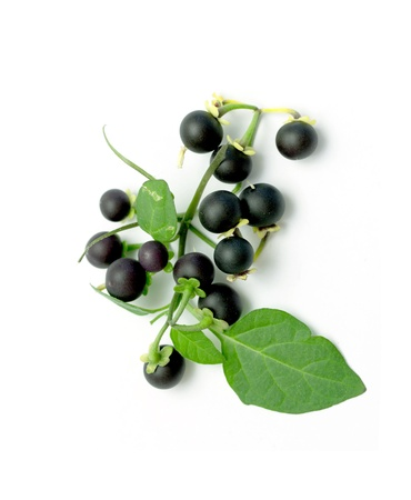 black berries on a green branch isolated on white background photo