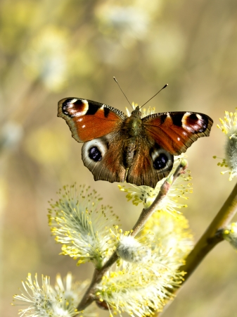 Peacock butterfly on the pussy willow photo