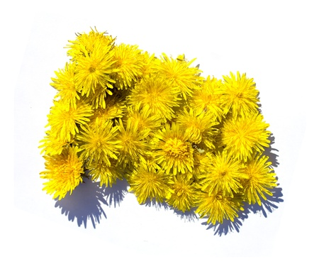yellow dandelion flower photo
