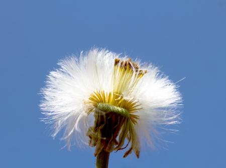 white dandelion photo