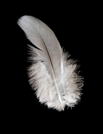 pigeon feather on the black background photo