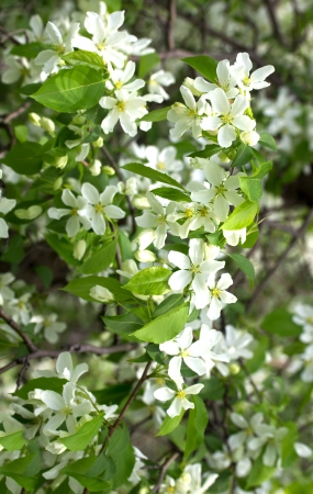 white flowers of apple tree, spring photo