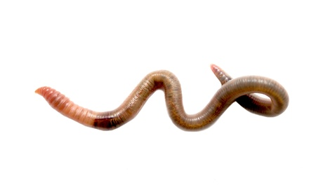 Close  up of earthworm Stock Photo